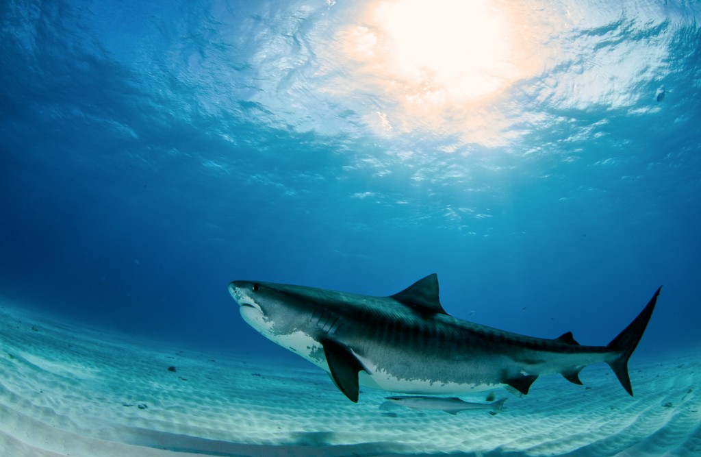 Ways to Save Sharks – The Dangerous Species in Ocean
